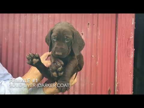 Mandy Grouser GSP Puppies 5/16/18