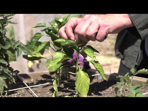 The Garden Minute: Tips for Maximum Yield
