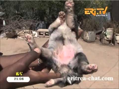 Eritrean News - 5 Feet Dog Born in Asmara - Eritrea 2016