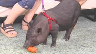 Мини-пиги как домашние животные