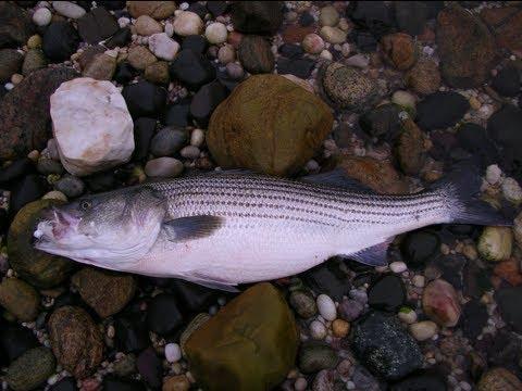 Striped Bass Fishing - Fishing with Slug-Gos