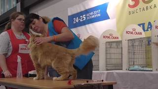 ZooSHOW 2017 White Nights. MAINE COON Breed Show. 20170625
