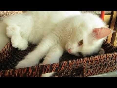 Shira sunbathing ~ cute Angora cat