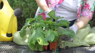How to Prune a Cucumber Plant