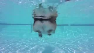 Corgi Shows Off Swimming Skills
