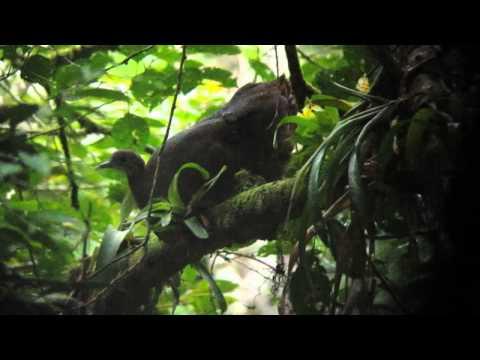Solitary Tinamou - Tinamus solitarius - Intervales, Brazil