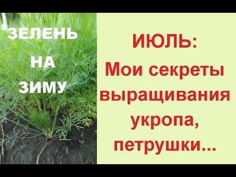 Посадка укропа и петрушки в июле// Зелень на зиму