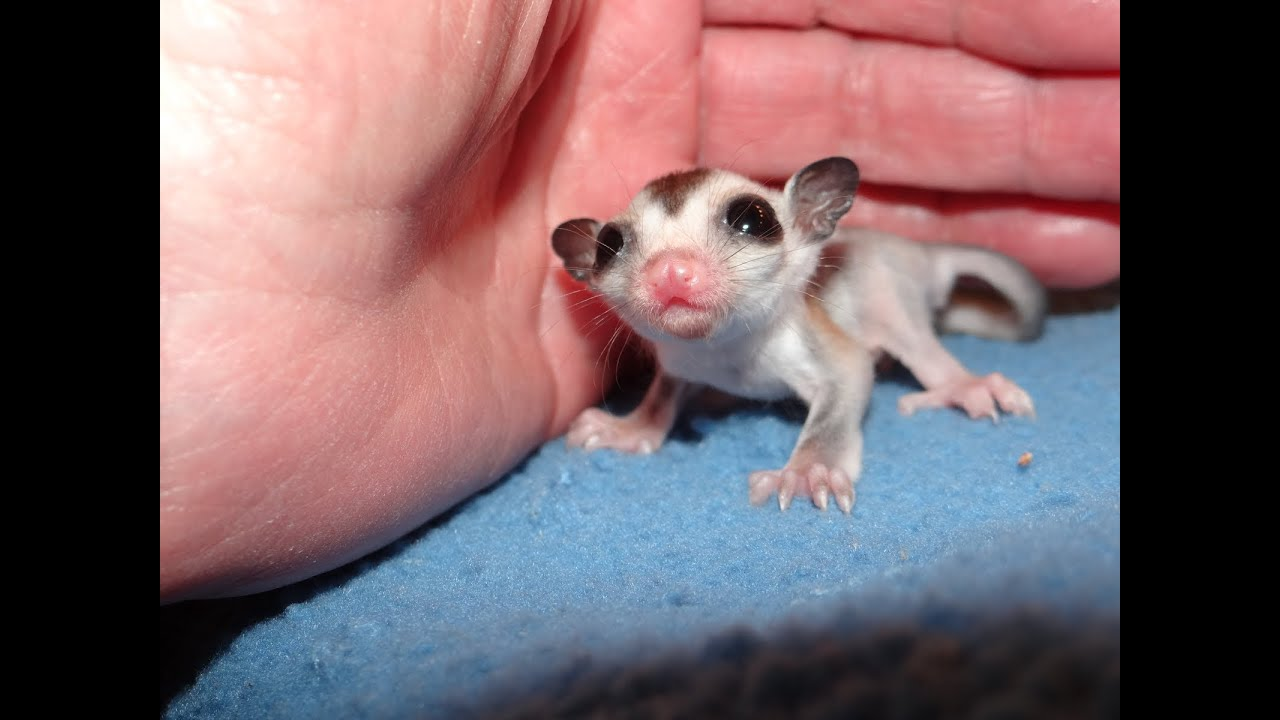 Sugar Gliders Baby Food