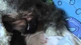 Birth Of Puppies (http://www.pristinestandardpoodles.ca)