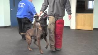 Dog Aggressive Pit Bull - Extreme Rehabilitation