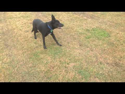 Nox - The Australian Kelpie - 7 Months