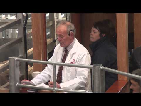 Hopes of Wigton Mart First Prime Cattle Sale at the New Mart March 5th 2013