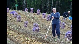 Лукашенко с сыном Колей выкопал 105 тонн бульбы!