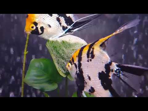 ANGEL FISH | KOI ANGEL FISH | AQUARIUM FISH BREEDING | ANGEL FISH EGGS | KNOW YOUR FISHY