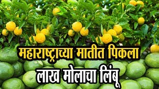 लिंबू शेतीतुन कमविला निव्वळ नफा  अडीच लाख  रुपये | Success story of Lemon Farming