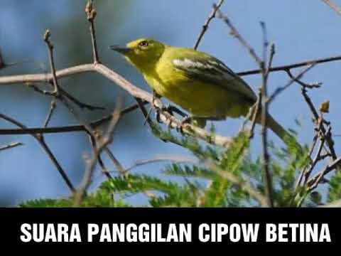 SUARA PANGGILAN BURUNG CIPOW BETINA