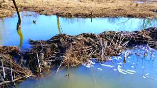 Using Excavator to Remove Beaver Dams