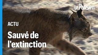 Le lynx sauvé de l'extinction grâce à un programme d'élevage en captivité