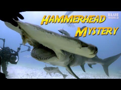 Hammerhead Shark Mystery | JONATHAN BIRD'S BLUE WORLD