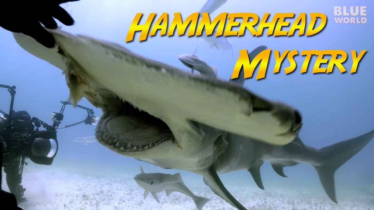 Hammerhead Shark Mystery Jonathan Bird S Blue World