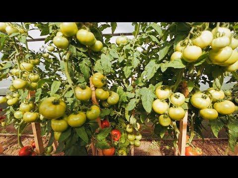 ОБ ЭТОМ ТОМАТЕ МЕЧТАЛИ ВСЕ!ТОМАТ МЕЧТАЛИН F1 | выращивание | помидоров | посадить | помидоры | томатов | рассада | томаты | семена | томат | сорта