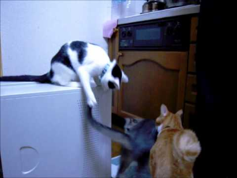 Funny Cat Trolling (Original) - Youtube