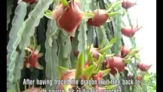 Vietnam Dragon Fruit (www.vktour.com)