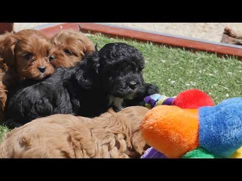 Chevromist Kennels Australia Toy Cavoodles
