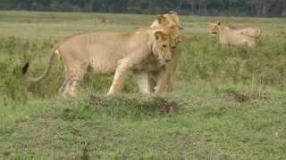 ど根性マングース。ライオン4匹に囲まれつつも果敢に立ち向いライオンをたじろがせる(アフリカ)
