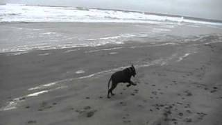 Willy  Chocolate Lab Puppy  At The Beach At Westport Wa