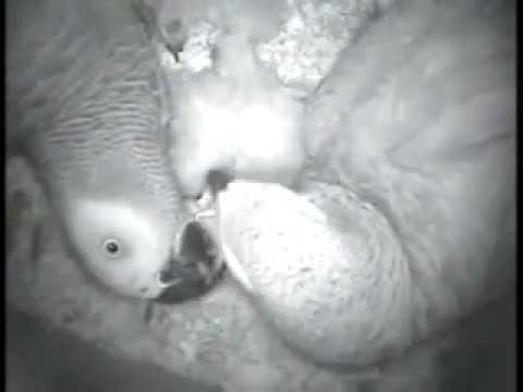 African Grey Parrots Feeding Chicks