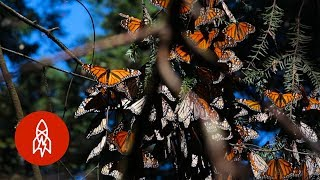 Monarchs by the Millions: Welcome to Butterfly Forest