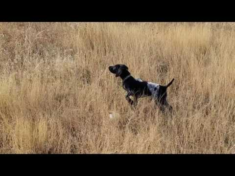 German Shorthaired Pointer Rizzo at 12 weeks old : Impressive point!