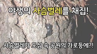 사슴벌레 채집, 도심 속 공원의 가로등에서 사슴벌레 채…
