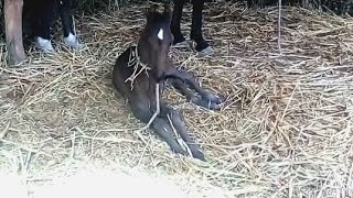 5 दिन के घोड़ी का बच्चा 5-day mare