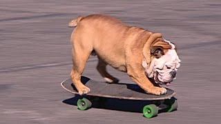 Remembering Tillman, the skateboarding bulldog