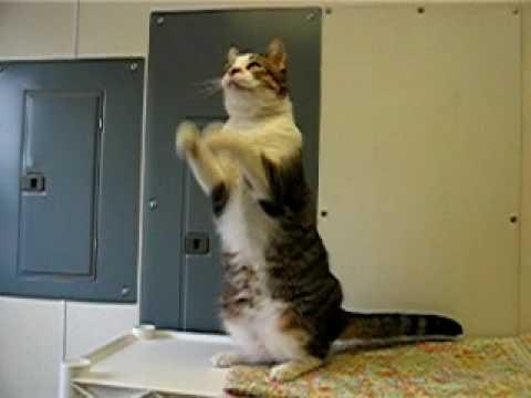 Dancing Cat 'Mister Kitty'