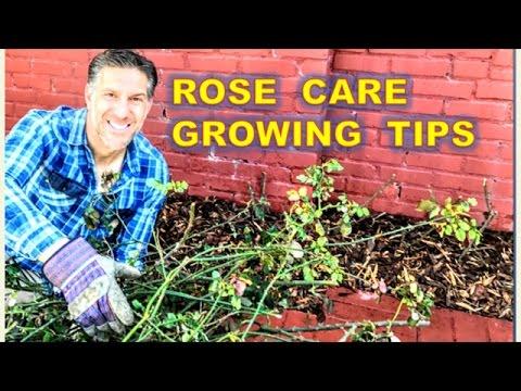 ROSE CARE |  PRUNING |  FEEDING | MULCHING | SEALING | WATERING | DISEASES