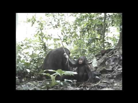 Baby Chimpanzee Plays With Termite Fishing Tool In Goualougo