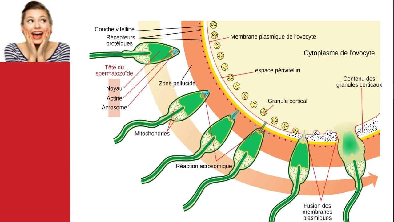 spermatozoide immobile traitement