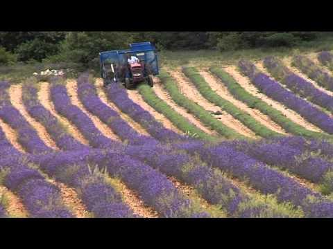 Levandule z Haute-Provence