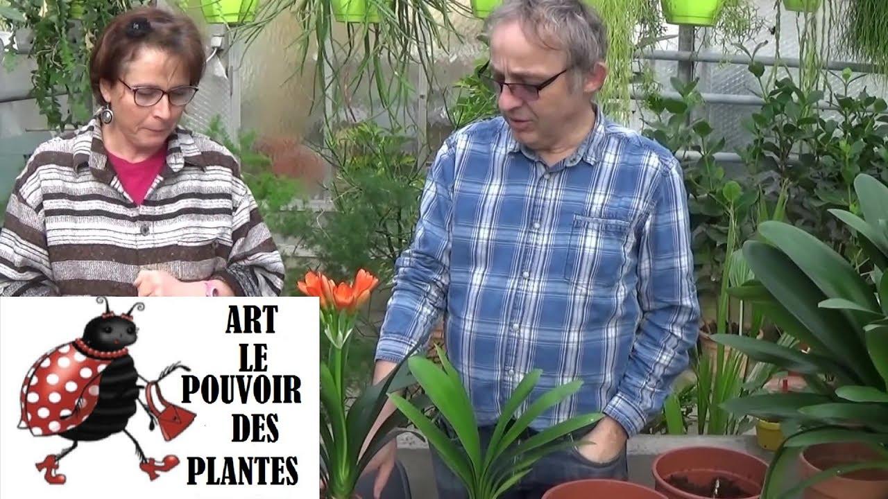 Etoile De Noel Plante Exterieur conseil jardinage: clivia miniata: comment faire l'entretien, arrosage:  (plante verte d'intérieur)
