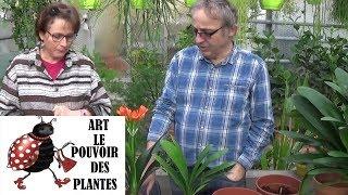 conseil jardinage comment faire l entretien et arrosage clivia miniata plante verte d intrieur