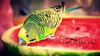 Чем КОРМИТЬ ВОЛНИСТОГО ПОПУГАЯ, КРОМЕ КОРМА. КОРМЛЕНИЕ кашами и ЧЕРНИКОЙ. Волнистый попугай