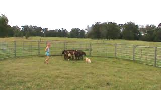 Reese Dog Breaking Cows 8-19-18