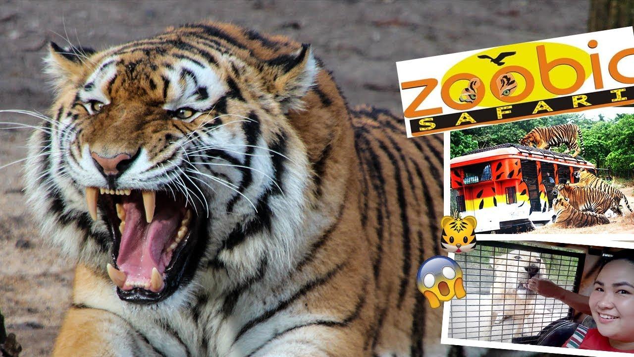 Subic Tour - Zoobic Safari! Tiger Safari Ride, Animal Adventure - Feeding the Tigers and Crocodiles