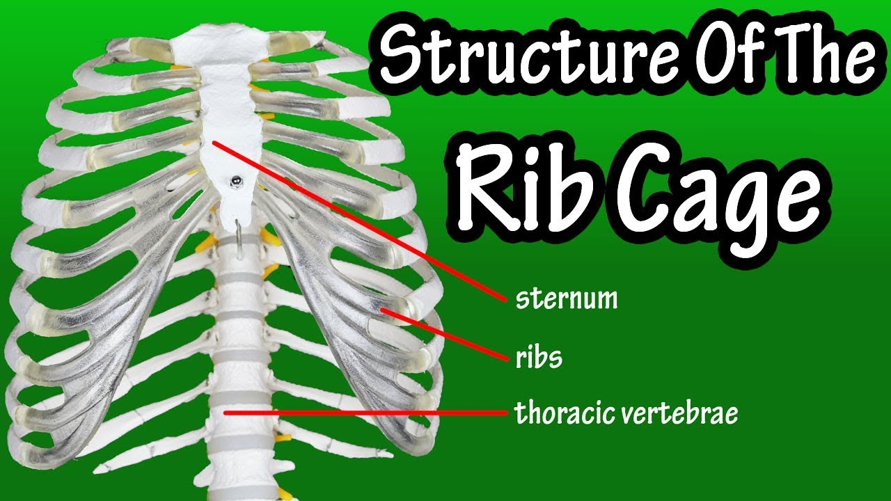 structure of the rib cage how many ribs in human body what is the sternum [ 1280 x 720 Pixel ]