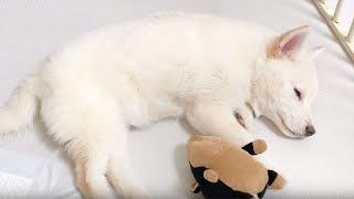 새로 입양한 새끼강아지와 친해지기 (새식구 백시바 여우예요)