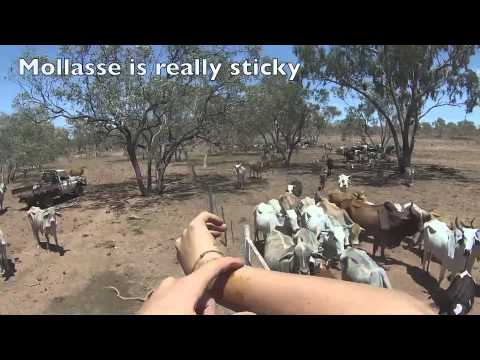 Feeding The Cattle With Molasses In The Desert Of Australia Go Pro December 2013
