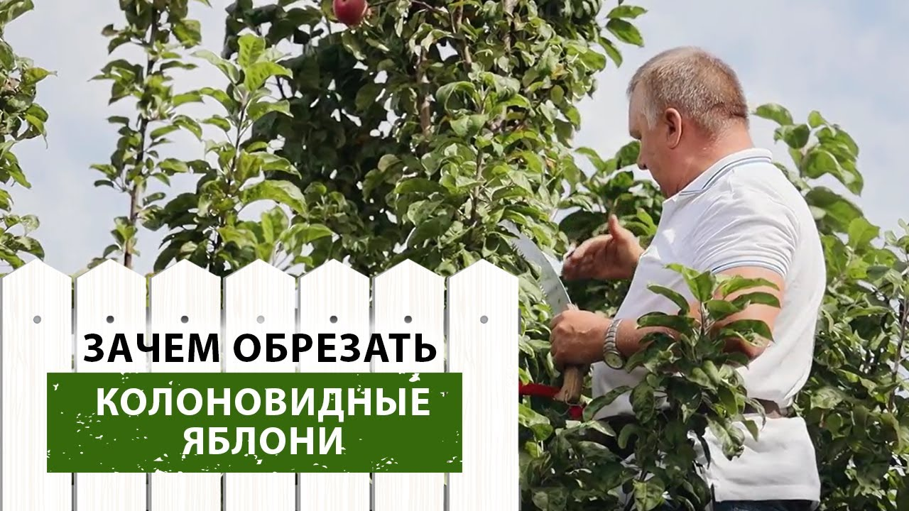 Нужна ли обрезка колоновидных яблонь?